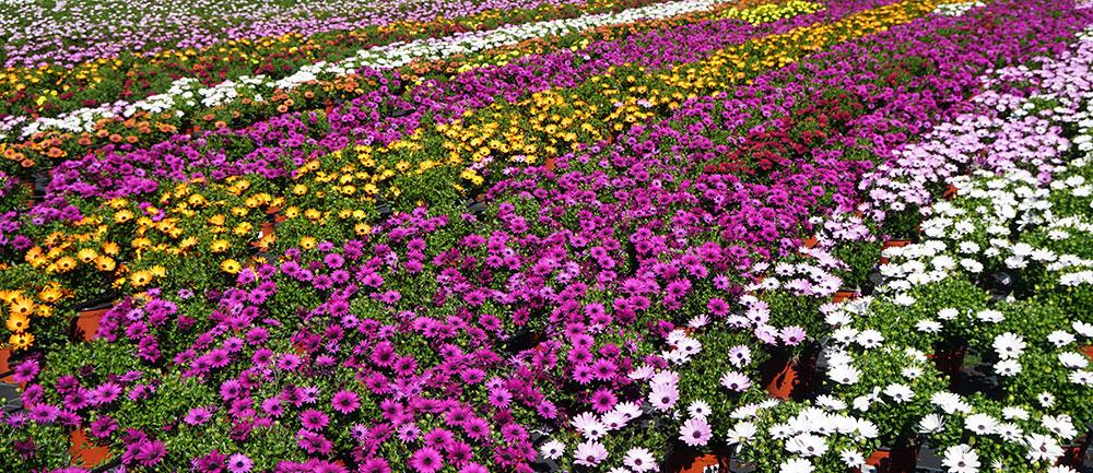 Plantas cultivadas en el Maresme